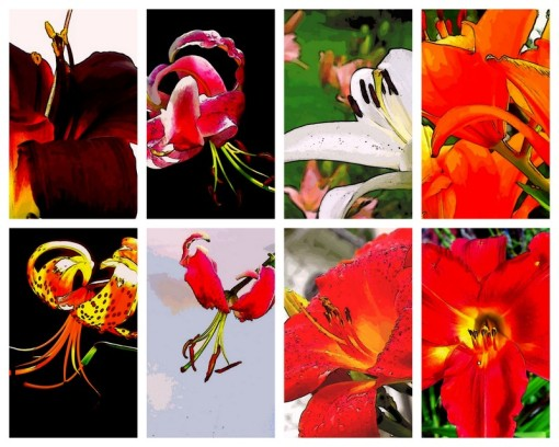 Various Lily blossoms, altered photography